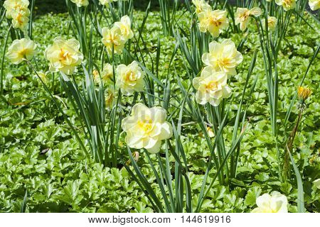 Flowerbed With Yellow Narcissus