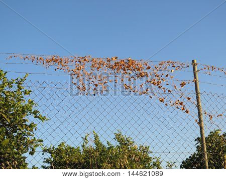 Rural fence with string of dried out bindweed