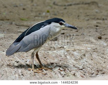A White-crowned night heron standing on the dirt beside the pool waiting to fishing beautiful grey bird