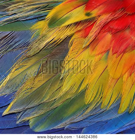 An amazing colorful background of bird feathers fascination of Scarlet Macaw bird's wing texture