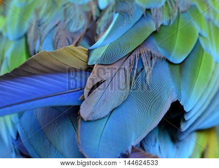An amazing puffy green and blue bird tail feathers the fascinated Buffon's macaw bird's wing texture
