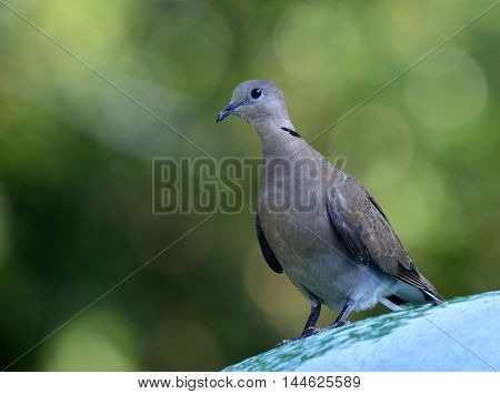 Red Turtle-dove  Or Red Collared Dove, The Beautiful Brown To Red Bird Perching On The Green Roof Wi