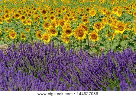 Boundary between lavender and sunflower fields