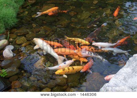 Koi Carp In Clear Water