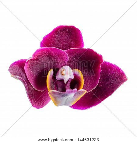 Blooming Beautiful Dark In Shades Of Purple Orchid Flower, Phalaenopsis Is Isolated On White Backgro