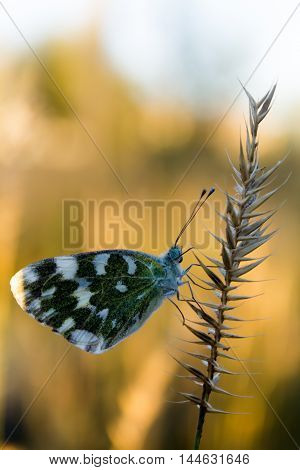 butterfly ditting on the grass at sunset