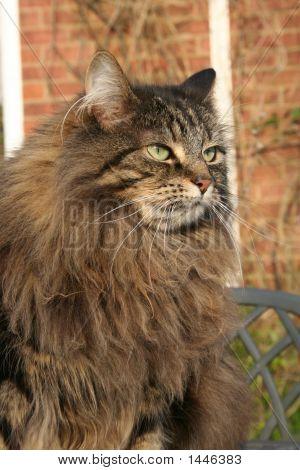 Tia Big Maned Cat
