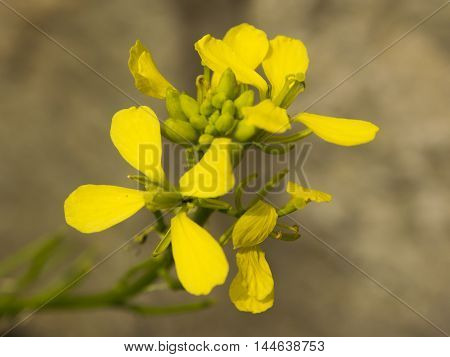 Colza flower closeup with blurry light brown background