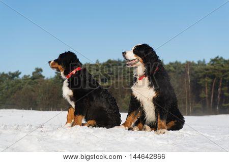 Pair of Berner Sennnehunden in snow landscape