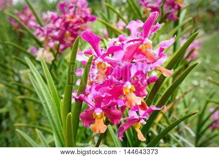 Vanda Tan Hoon Siang orchids flower in the garden.