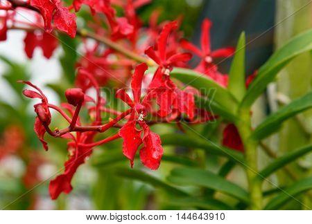 Renanthera brookie chandler orchids flower in the garden