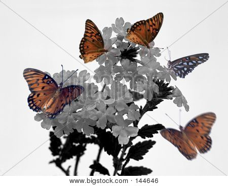 Monarchs And Penta