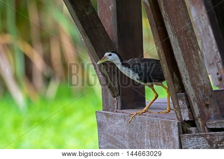 White breasted Waterhen waterbird walk out from wooden balcony with blurred background, Thailand (Amaurornis phoenicurus)