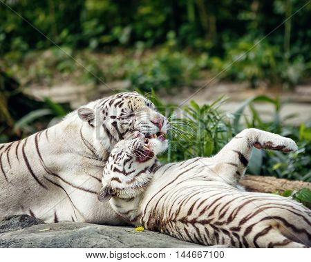 Huge wild white tiger couple having fun in natural environment
