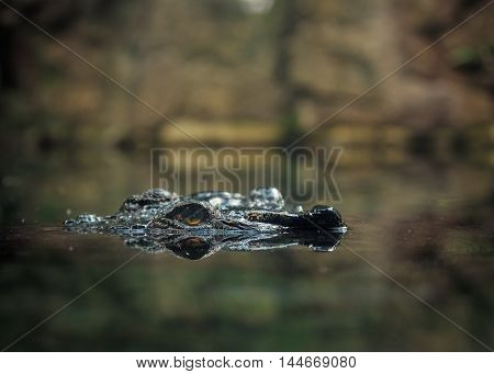 Huge wild crocodile in natural water environment