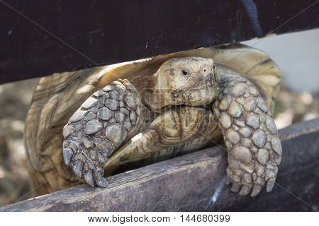 Ground Turtle Tries To Crawl Over A Fence