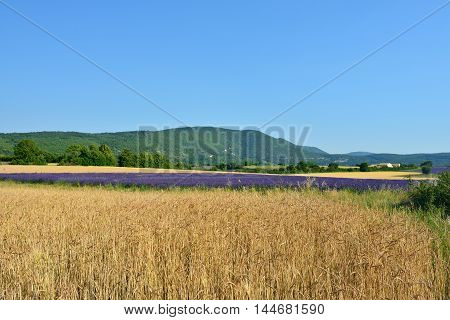 Stunning landscape with wheat field and lavender field on background. Plateau of Sault Provence France