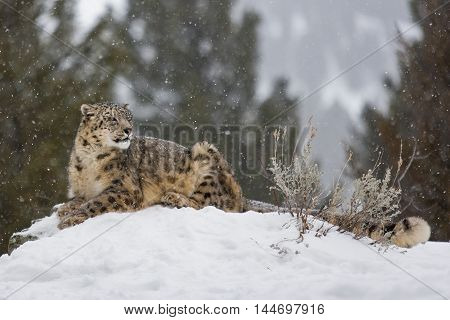 Portrait Of A Snow Leopard.