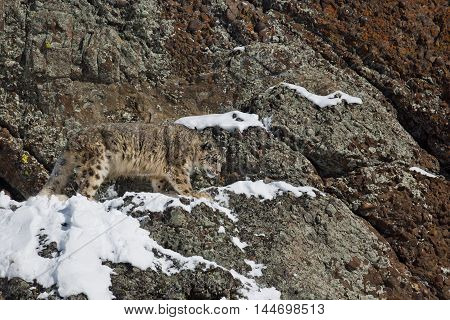 Snow Leopard Is Walking Down To The Rock.