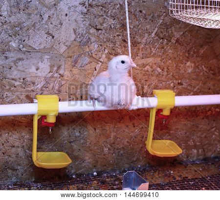 Young broiler chicken is heated by an infrared lamp in brooder cage