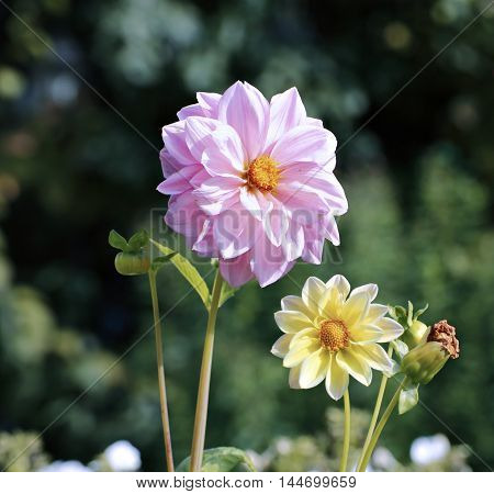 Pink dahlia flower in garden at summer