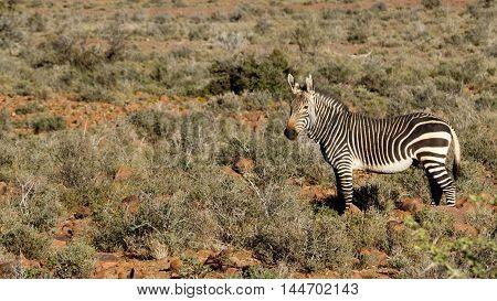 Zebra In The Field - Beaufort West