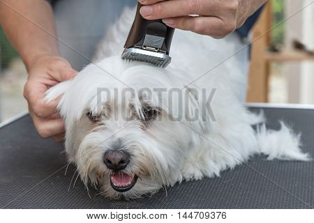 Grooming the head of white Maltese dog by electric razor. The dog is lying on the grooming table and is looking ahead.