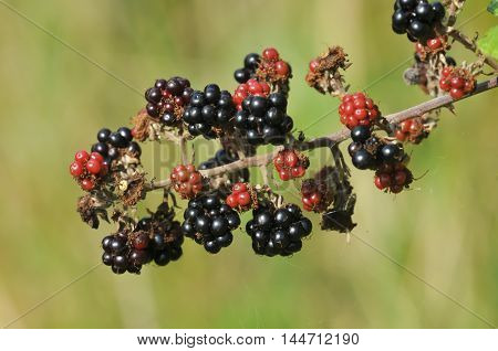 red and black organic ripening brambleberry fruit in autumn sunshine