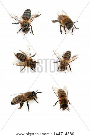 bees isolated on the white. Close up
