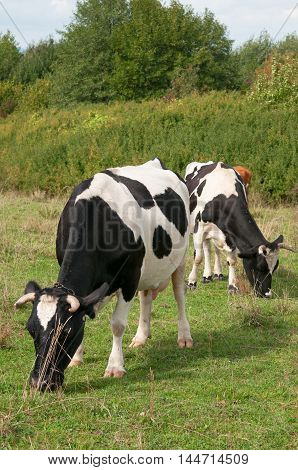 Black and white Holstein cows grazing. Close up