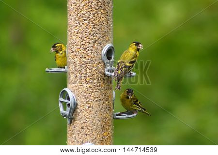 A trio of male Siskins on a giant seed feeder