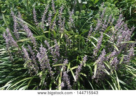 Lilac colored Liriope flowers used as groundcover