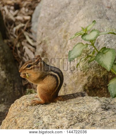 A Chipmunk (Tamias striatus) eating some vegetation while sitting atop a rock.