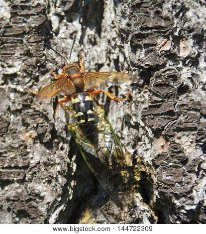 A Cicada Killer, (Sphecius speciosus), or Eastern Cicada Hawk, is a large digger wasp.