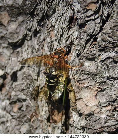 A Cicada Killer (Sphecius speciosus) also known as a Cicada Hawk, climbing up a tree while holding its prey.