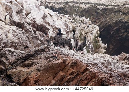 Colony Of Cormorants - Ballestas Islands Nature Reserve - Peru