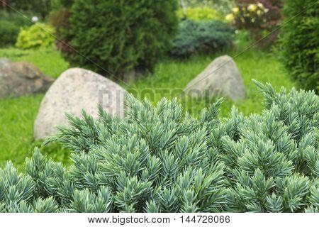 Juniperus communis - evergreen juniper tree green branch in the garden. Bush photo