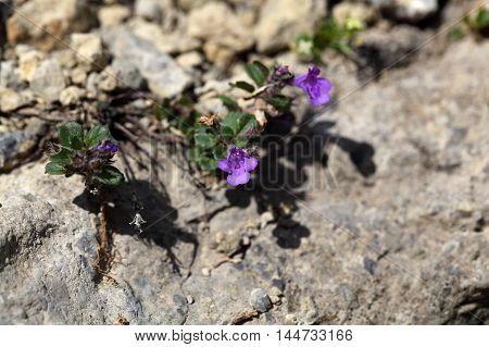 Flowers of a Rock thyme (Acinos alpinus) in the Alps.