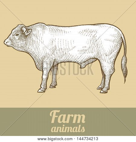 Cattle bull. Series vector illustration of farm animals. Style vintage engraving.