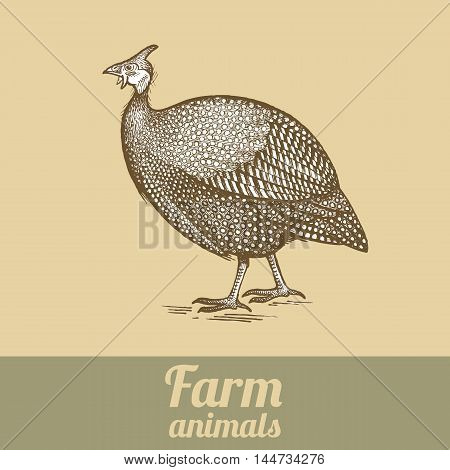 Bird guinea fowl. Series vector illustration of farm animals. Style vintage engraving.