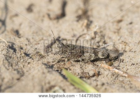 Blue-winged Grasshopper (Oedipoda caerulescens) male resting on sand