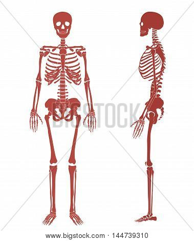 Human Skeleton Bone Vector & Photo (Free Trial) | Bigstock