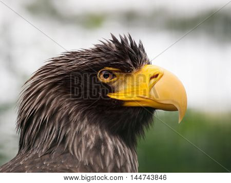 Portrait of Stellers sea eagle - Haliaeetus pelagicus one of the largest of sea and fish eagles