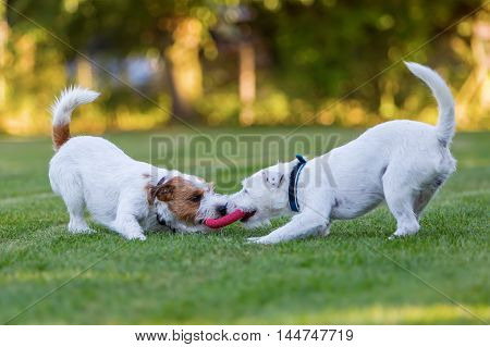 Two Parson Russell Terrier Fighting For A Toy