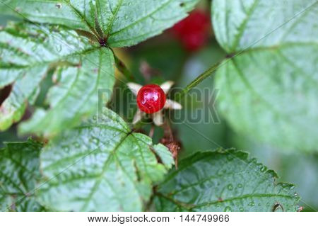 Berries of an alpine currant (Ribes alpinum) in the Bavarian Alps.