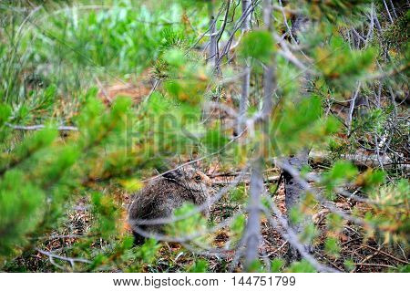 Rabbit freezes all motion as it hides in among the forest camouflage in Yellowstone National Park.