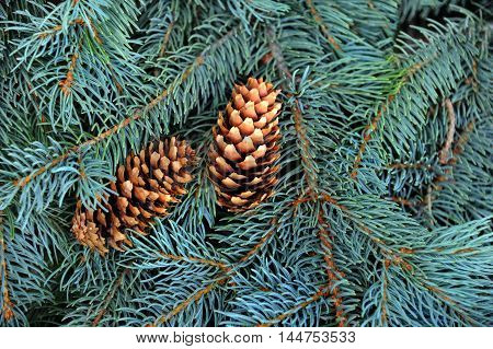 Background image shows closeup of Blue Spruce branches. Two pine cones sit amoung limbs.