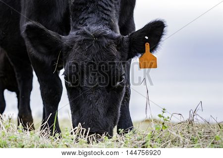 Close up of a black Angus cow grazing on dormant Bermuda grass pasture