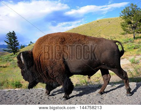 Buffalo walks besides road in Yellowstone National Park. Full lenth image shows silhouette of bison.