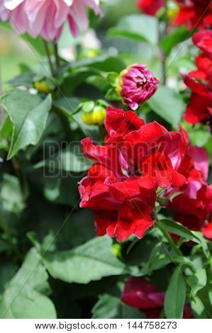 Red flowers bloom in garden in Happy Valley Wyoming. Vibrant color stands out against green background.